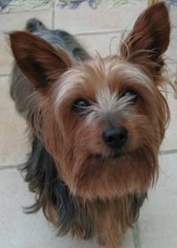 Rade de câini - câinele Yorkshire Terrier