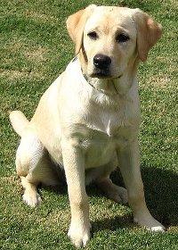 Rase de câini - labradorul