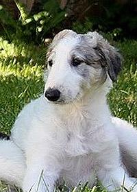 Ogarul Barzoi - Rasă de câini rusească - Portret pui