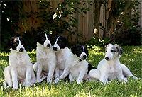 Ogarul Barzoi - Rasă de câini rusească - Pui