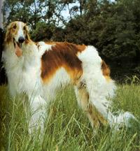 Ogarul Barzoi - Rasă de câini rusească - Talie