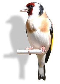 Alegerea primei păsări de companie
