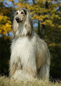 Ogarul Afghan (Afgan) - Rasă de câini