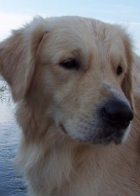 Rase câini - Golden Retriever