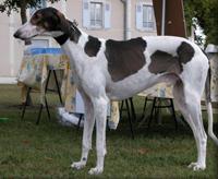 Rase de câini - Ogarii Chart Polski (Ogarul Polonez)