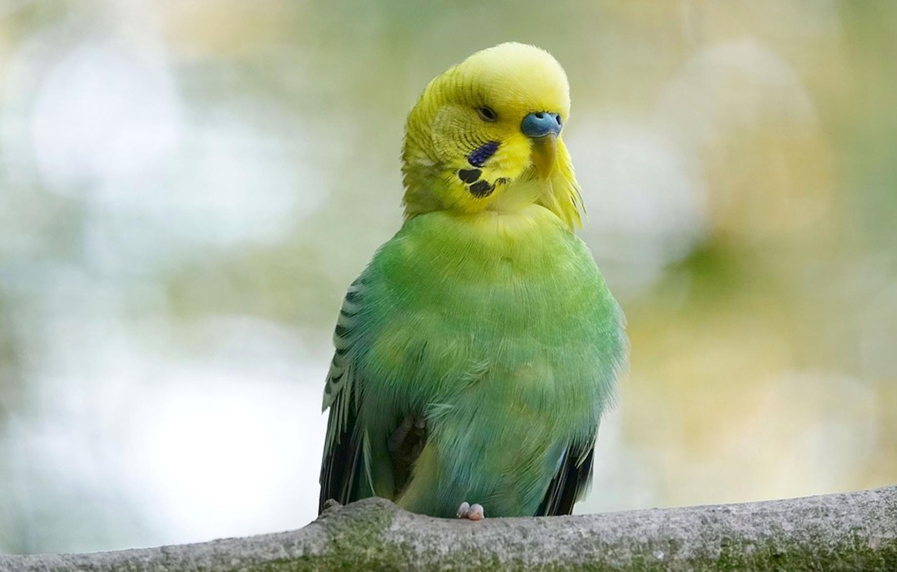 pierderea în greutate a papagalului)