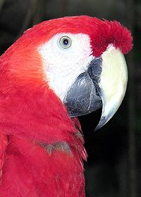 Comportament papagali