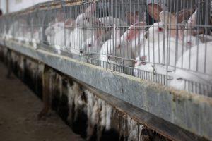Cuștile de iepuri au drept podea rețele din sârmă