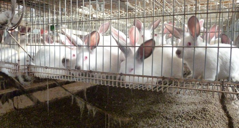 În cuștile de iepuri animalele sunt supraaglomerate